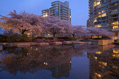 Beauty In Urban Jungle (Claire Chao) Tags: longexposure pink blue trees sky urban reflection building yellow night vancouver canon buildings cherry evening pond downtown bc purple nightshot blossom britishcolumbia manmade cherryblossom sakura intersection nightview bluehour urbanjungle magichour denmanstreet nightfall coalharbor treereflection westgeorgia aftersunset longexposures downtownvancouver akebono eveningshot vcbf vancouvercherryblossomfestival canoneos5dmarkii ef1635mmf28 nightviewvancouver