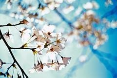 Translucent petals (moaan) Tags: life leica light sun sunlight digital 50mm dof bokeh dr summicron utata 桜 cherryblossom sakura blossoming cherrytree m9 underthesun f20 2011 inlife pouringsunlight summicron50mmf20dr leicam9 leicasummicronf20dr gettyimagesjapanq2