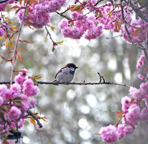 sparrow in blossom