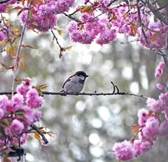 sparrow in blossom (Fiona in Eden) Tags: pink england white bird garden spring blossom shots goldfinch best sparrow tulip bloom flickrs cutebird exemplary beautifulcapture birdsandwildlifeuk screamofthephotographer dragonflyawards