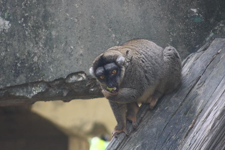 木柵動物園(褐狐猴)031
