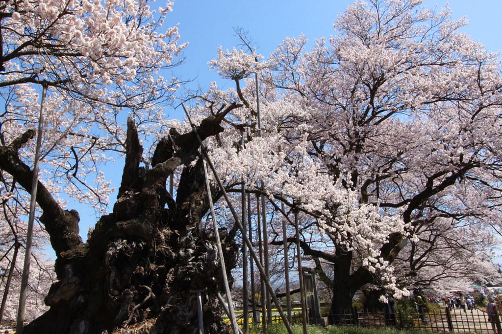 Sakura Photo 2011The Yamadaka Jindai Cherry blossom (15)