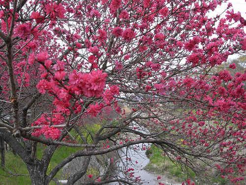 春の花々@明日香村-35