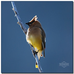 First Light: Cedar Waxwing (kdee64) Tags: summer july yukon cedarwaxwing bombycillacedrorum tagishlake windyarm
