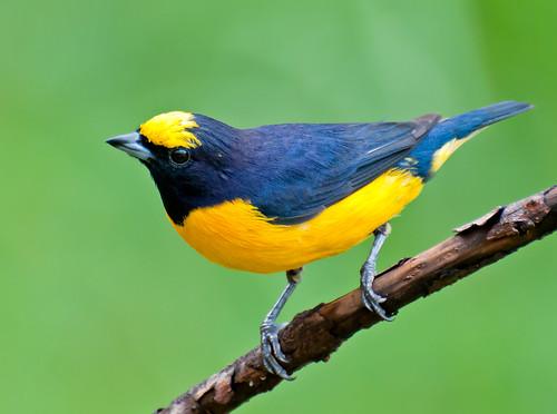 [フリー画像] 動物, 鳥類, オジロスミレフウキンチョウ, 201104221700