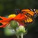 Papillon Jardin Botanique  Butterfly