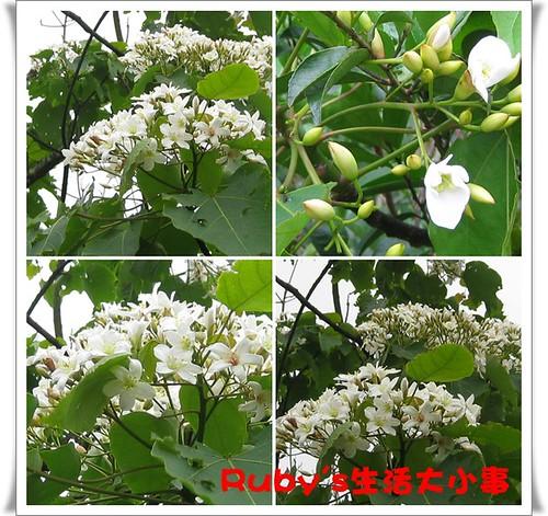2010年油桐花 (9)