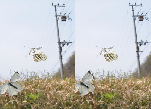 Pieris melete, stereo parallel view
