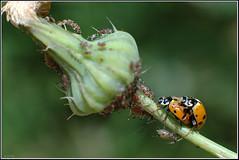 Hippodamia variegata -    (Eran Finkle) Tags: macro closeup ladybird ladybug ladybeetle larva coccinellidae  hippodamiavariegata variegatedladybeetle       eranfinkle   13