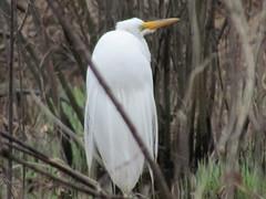 Great Egret (PRS North Star) Tags: egret whiteegret greategret egrets greategrets whiteegrets