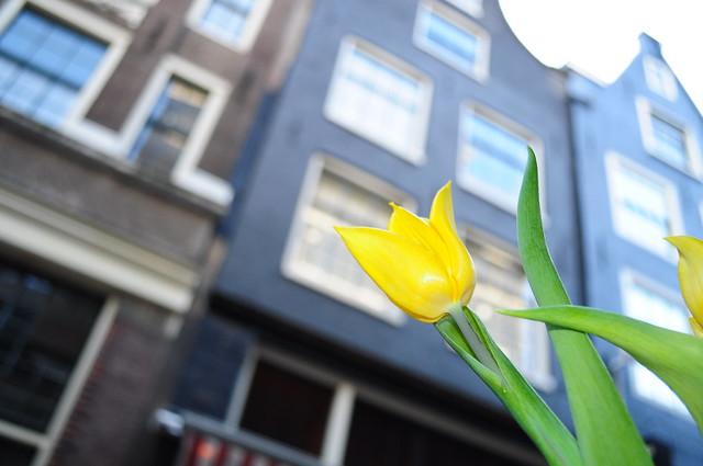 Tulipán en Amsterdam