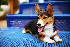 Peyton (anthonyhelton.com) Tags: dogs puppy pembroke corgi welsh mansbestfriend canon50mmf14 5dii
