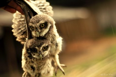 and  (ReeAon2) Tags: birds 50mm nocturnal babyowl hoothoot