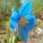 Abriachan blue poppy thumbnail