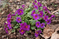 Primula   Picture 011 (juststopandlook) Tags: flowers outdoors spring portelgin brucecounty