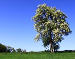 (:Linda:) Tags: germany thuringia village bürden spring bloomingtree bluesky huntersperch blossom blooming blüte blühend blauerhimmel wolkenloserhimmel blühenderbaum hochsitz hunter´sperch hunters´ perch raisdestand hunting jägerstand birnenbaum peartree