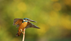 Kingfisher at Hoshinaike (jcowboy) Tags: bird nature birds animal animals japan asia searchthebest wildlife kingfisher aichi obu 2011 kingfishers  theperfectphotographer hoshinaike mayl2011