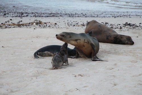 Adult and young Galapagos Sea Lion