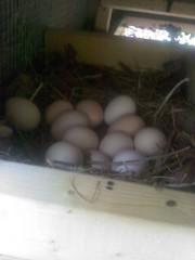 The Chicken Project=One Dozen Eggs So Far