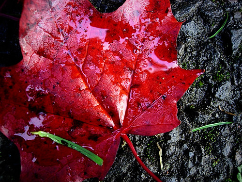 Red-Leaf-the-Meadows