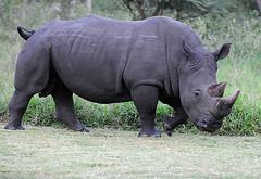 Moja, Male White Rhino, Ziwa Rhino Sanctuary, Uganda