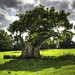Oak Tree , Middle Claydon