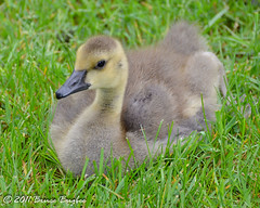 Baby Gosling (Bruce Bugbee) Tags: usa canada oak goose oh gosling openings metropark fantasticnature