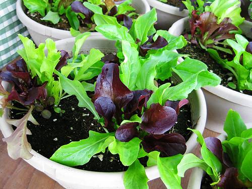 Lettuce bowls