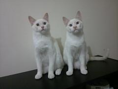 Oscar e Nestor - ADOTADOS :-) (resGatinhos) Tags: gatos gato gatinho adoteumgato gatopreto gatobranco gatoparaadoo adoogato adotargato