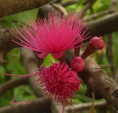 Flor del Cajuilito Solimn/Cajuil de Surinam/Malay Apple (Altagracia Aristy) Tags: amrica dominicanrepublic tropic antilles laromana caribe caribean repblicadominicana trpico antillas quisqueya eugeniamalaccensis altagraciaaristy carabe fujifilmfinepixhs10 fujihs10 fujifinepixhs10 flordecajuilitosolimn flordecajuilitodesuninam