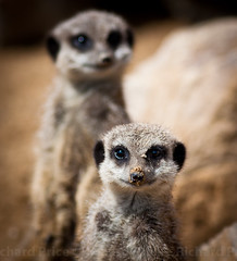 It wasn't me! (R.Price) Tags: nature meerkat