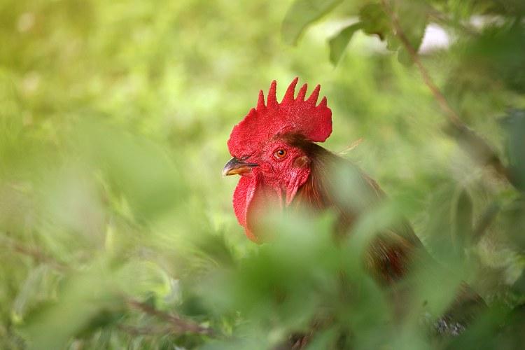 06-24-chickens2