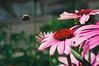 flight of the bumblebee (damiec) Tags: flower flight bee pollen nationalcathedral bishopsgarden silderssunday