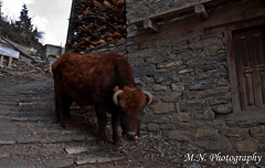 DSC_0418 (Meir Naamat) Tags: nepal animals himalaya כפר חיה upperpisang מקומי עתיק aroundannapurnatrack
