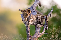 Leopard Cub (Burrard-Lucas Wildlife Photography) Tags: cats baby tree cute animals cub wildlife young leopard botswana okavangodelta