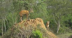 _DSC5480. Bushbuck. Lake Mburo N.P. Uganda. (Berit Christophersen) Tags: uganda bushbuck sonyalpha tragelaphus lakemburonationalpark sal70300g skriftantilope
