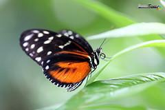 Mariposa (javierreyes.es) Tags: mariposa macro verde negra naranja