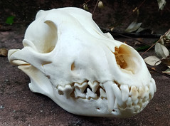 charu4 (Coyoteprince) Tags: coyote eastern northeastern skull skulls reference canid