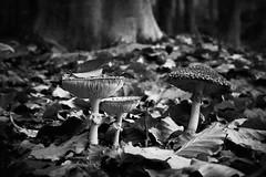 **Mushroom World** (**klaracolor**) Tags: klara klarathomas klaracolor nature littlepieceofnature closeup leaf leaves tree trees blackandwhiote bw whietandblack landscape forest mushroom mushrooms canon 40d canon40d