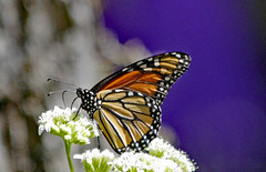 Monarch Butterfly (Ellsasha) Tags: butterflies butterfly monarchbutterfly insect migration texas nativeplants
