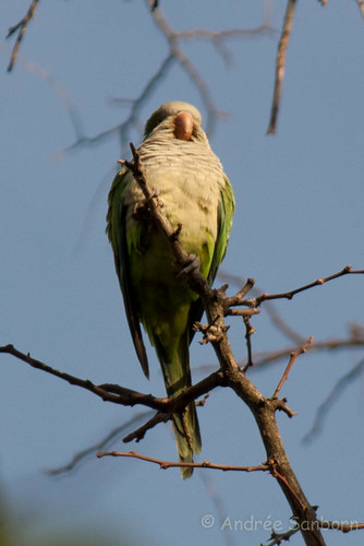 Green Monk Parrot (Myiopsitta monachus)-3.jpg