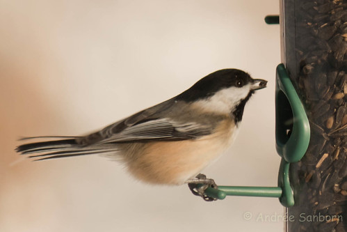 Black-capped chickadee -18.jpg