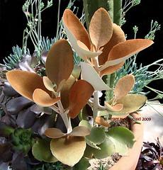 Kalanchoe orgyalis (Kelley Macdonald) Tags: succulent kalanchoe kalanchoeorgyalis brownfoliage