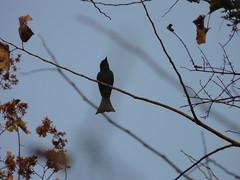 P1150626 (babsybou) Tags: travel india birds silent watching kerala du valley yatra sud inde attapadi birdswatching babsybou malleeshwaramjunglelodge pettickal