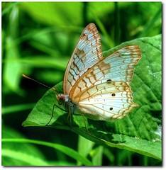 Justo quando a lagarta pensou que o mundo tinha acabado, ela virou uma linda borboleta... (Marina Linhares) Tags: nature butterfly fly natureza free liberdade caterpillar borboleta lagarta voar mygearandme mygearandmesilver artistoftheyearlevel4