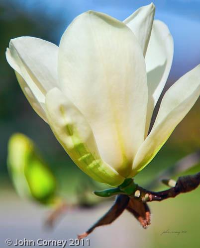 Magnolia  - Silver Chalice