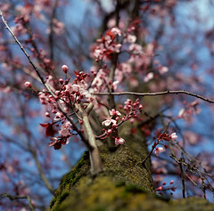 an exception for spring (manyfires) Tags: pink sky tree film up oregon mediumformat square portland moss spring bokeh blossoms hasselblad bloom pacificnorthwest pdx plumtree hasselblad500cm
