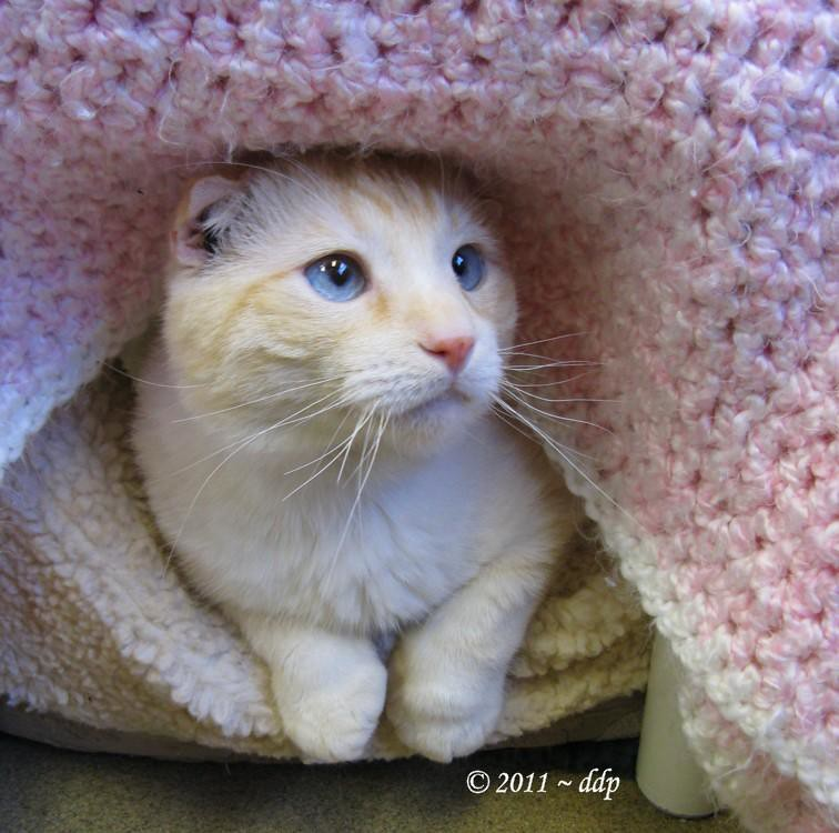 Curly Fry ~ Creamy Colored ~ Blue Eyed ~ Scottish Fold Cat