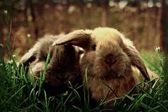 [フリー画像] 動物, 哺乳類, ウサギ科, 兎・ウサギ, 201104101100