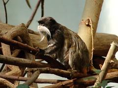 saguinus imperator (Joachim S. Mller) Tags: animal germany mammal deutschland zoo monkey hessen frankfurt primate frankfurtammain tier tamarin affe frankfurterzoo emperortamarin primat sugetier saguinusimperator zoofrankfurt kaiserschnurrbarttamarin grzimekhaus